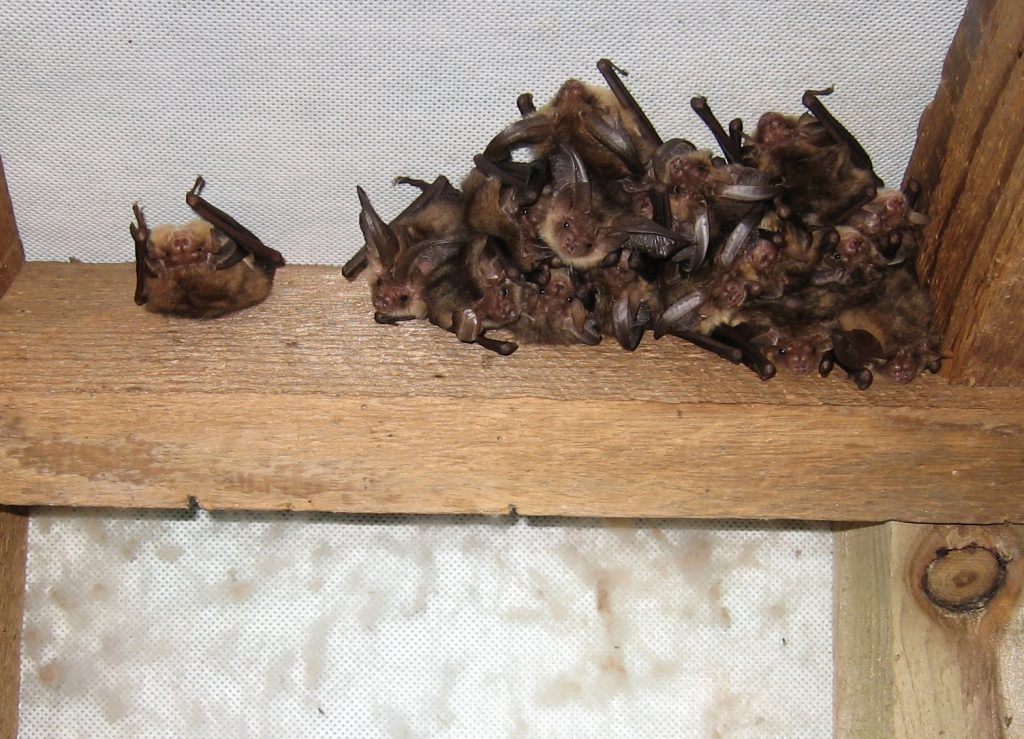 Houston Bat Removal